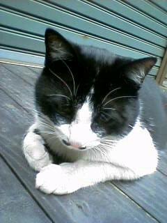 西荻猫 ミーちゃん