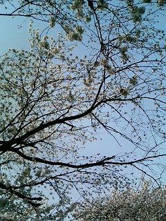 桜漬けな日々