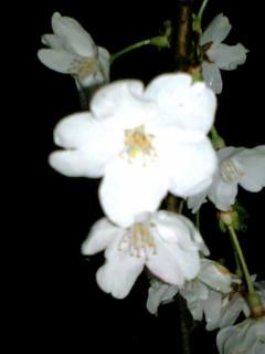 雨の後の夜桜
