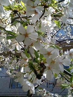 昼、公園の桜