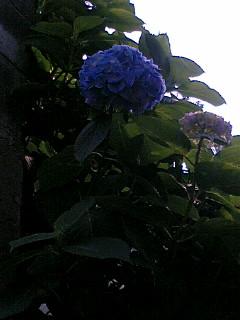 今年、初めての紫陽花