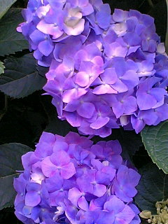 今年、2度目の紫陽花