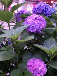 今年、2番目の紫陽花