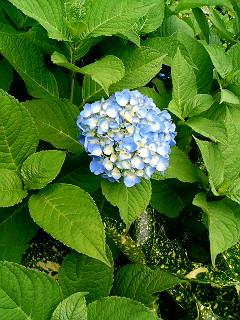 今年、3番目の紫陽花