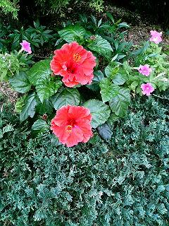 ビルの谷間にハイビスカスが咲いている