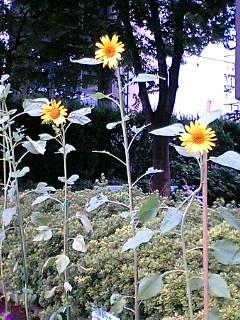 花咲かせ隊のひまわりとオランダ屋のひまわり