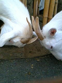あらかわ遊園 山羊・羊