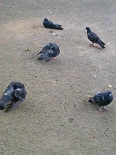 鳩の昼寝 ひまわり 鳥尾さん