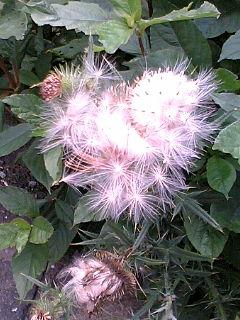 幽玄・カンカン照り・アザミのふわふわ種子