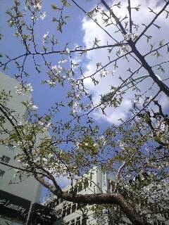 白木蓮と欅