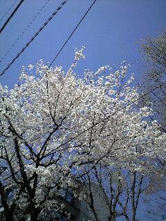 匂い菫・勿忘草・都忘れと桜