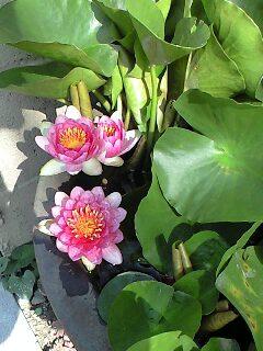 ピンクの睡蓮が咲いた