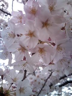 桜・さくら・SAKURA  2