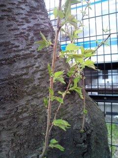 桜・さくら・SAKURA  3