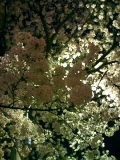 桜・さくら・SAKURA 4