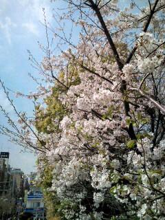 飯田橋と御茶ノ水駅・桜