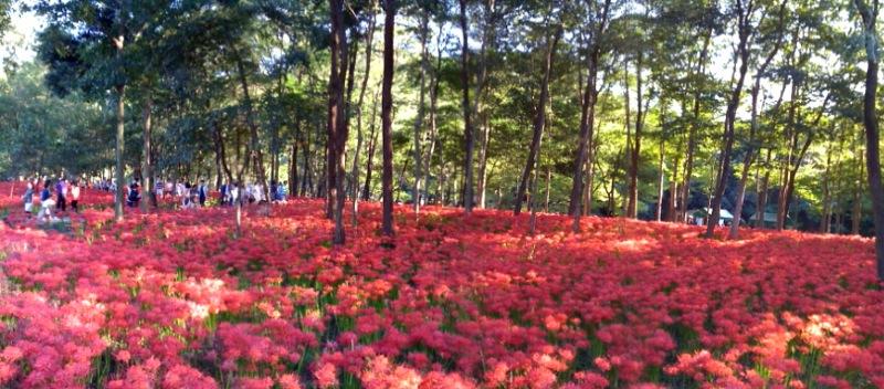 緋色の絨毯・曼珠沙華