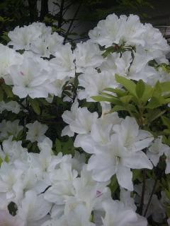 朝の花散歩 5.07
