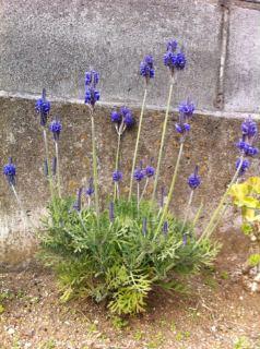 エントランス花壇がいい匂い